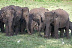 Part of the large Wasgamuwa herd