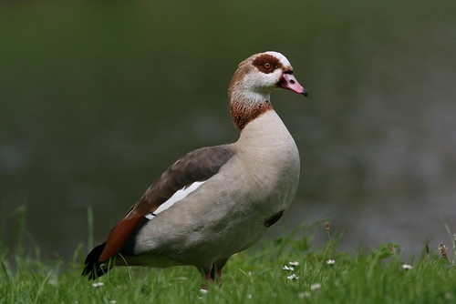 """Egyptian Goose • <a style=""""font-size:0.8em;"""" href=""""http://www.flickr.com/photos/30837261@N07/10722968934/"""" target=""""_blank"""">View on Flickr</a>"""