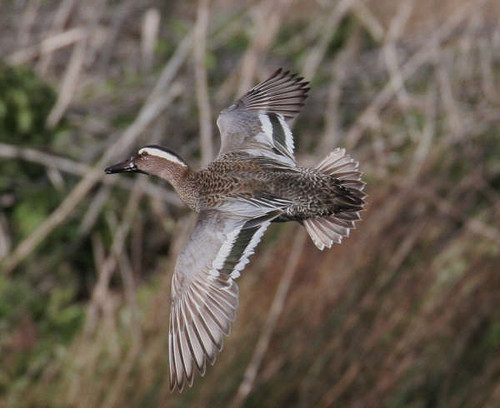 """Garganey (C.Selway) • <a style=""""font-size:0.8em;"""" href=""""http://www.flickr.com/photos/30837261@N07/10722897575/"""" target=""""_blank"""">View on Flickr</a>"""