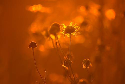 """Wildflowers in Sunrise • <a style=""""font-size:0.8em;"""" href=""""http://www.flickr.com/photos/22289452@N07/9421459264/"""" target=""""_blank"""">View on Flickr</a>"""