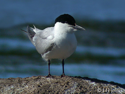 """Gull-billed Tern, Drift Res, Sept 2002, J H Johns • <a style=""""font-size:0.8em;"""" href=""""http://www.flickr.com/photos/30837261@N07/10722302276/"""" target=""""_blank"""">View on Flickr</a>"""