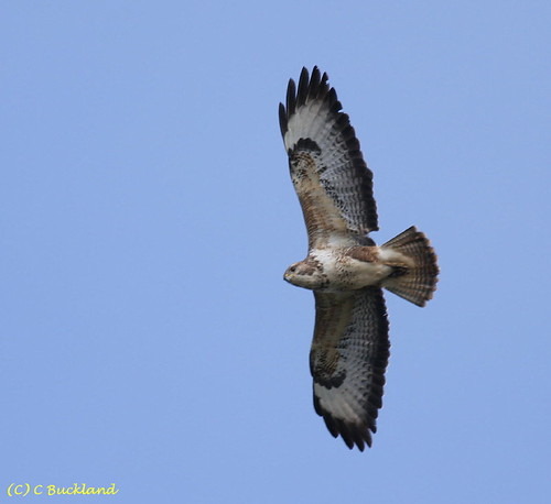 "Buzzard in flight (C.Buckland) • <a style=""font-size:0.8em;"" href=""http://www.flickr.com/photos/30837261@N07/10722422755/"" target=""_blank"">View on Flickr</a>"
