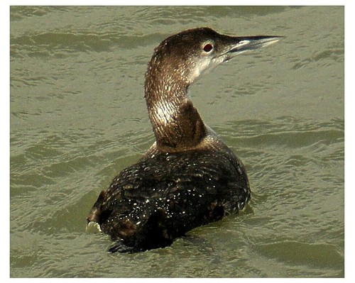 """Great Northern Diver • <a style=""""font-size:0.8em;"""" href=""""http://www.flickr.com/photos/30837261@N07/10722889625/"""" target=""""_blank"""">View on Flickr</a>"""