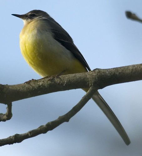 """Grey Wagtail • <a style=""""font-size:0.8em;"""" href=""""http://www.flickr.com/photos/30837261@N07/10723245755/"""" target=""""_blank"""">View on Flickr</a>"""
