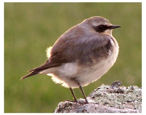 """Wheatear • <a style=""""font-size:0.8em;"""" href=""""http://www.flickr.com/photos/30837261@N07/10723535243/"""" target=""""_blank"""">View on Flickr</a>"""