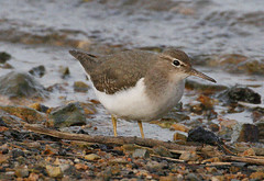 "Spotted Sandpiper, Hayle, P.Freestone • <a style=""font-size:0.8em;"" href=""http://www.flickr.com/photos/30837261@N07/10723818953/"" target=""_blank"">View on Flickr</a>"