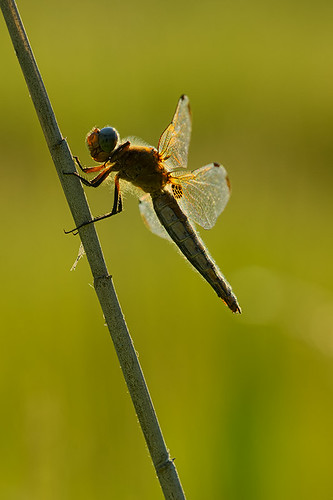 """dragonfly in the side light • <a style=""""font-size:0.8em;"""" href=""""http://www.flickr.com/photos/22289452@N07/9037341602/"""" target=""""_blank"""">View on Flickr</a>"""