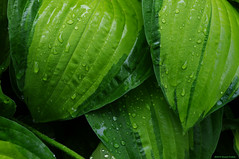 "Hostas With Raindrops • <a style=""font-size:0.8em;"" href=""http://www.flickr.com/photos/26989598@N08/8799352771/"" target=""_blank"">View on Flickr</a>"