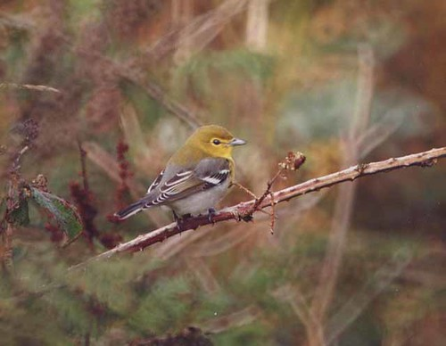 """Yellow-throated Vireo, Kenidjack, Sept 1990 • <a style=""""font-size:0.8em;"""" href=""""http://www.flickr.com/photos/30837261@N07/10722298164/"""" target=""""_blank"""">View on Flickr</a>"""