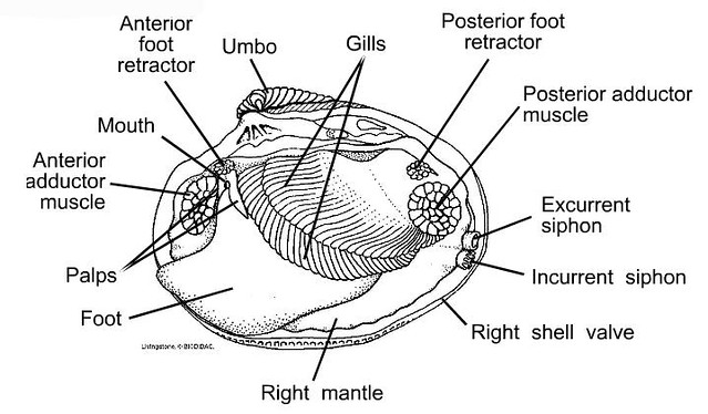 diagram of clam anatomy
