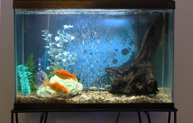 My 20 gallon goldfish tank | Flickr   Photo Sharing!