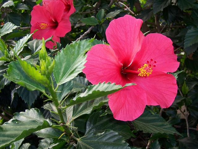 Hibiscus In Spanish Mar Pacifico | The Spanish Name For Hibiscus Flowers Is