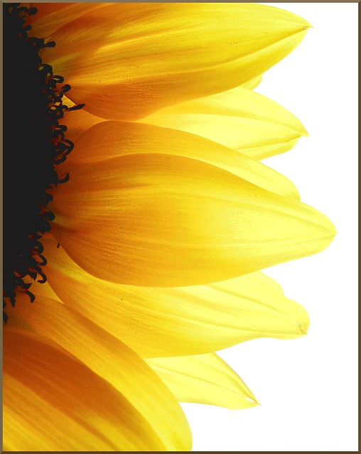 Black And Yellow Wallpaper Sunflower Petals Explore 2 3 09 By Cminik Flickr