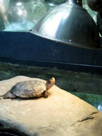 Grinning Turtle, Basking in Sun Lamp   Craning up its ...