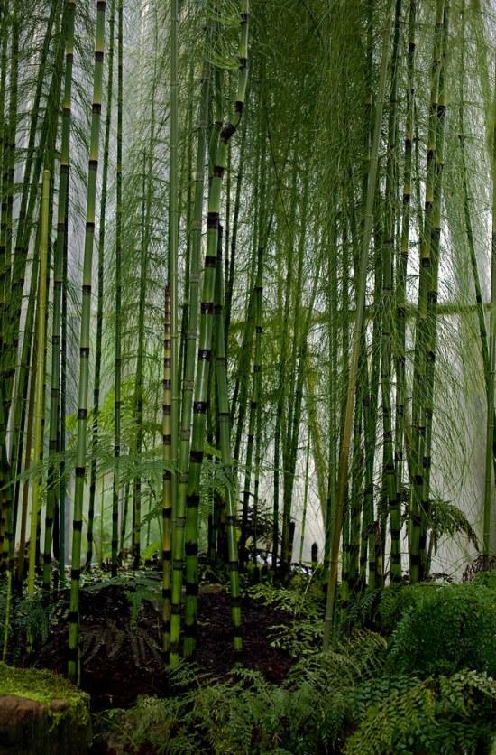 Equisetum myriochaetum (Equisitaceae)
