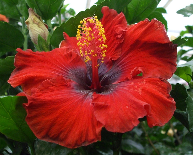 Hibiscus In Spanish Hibiscus Spanish Lady | Flickr - Photo Sharing!