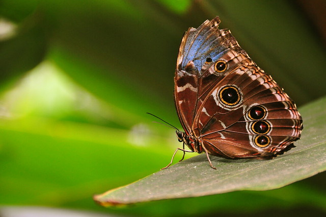 Morpho peleides wings closed (blue morpho butterfly)