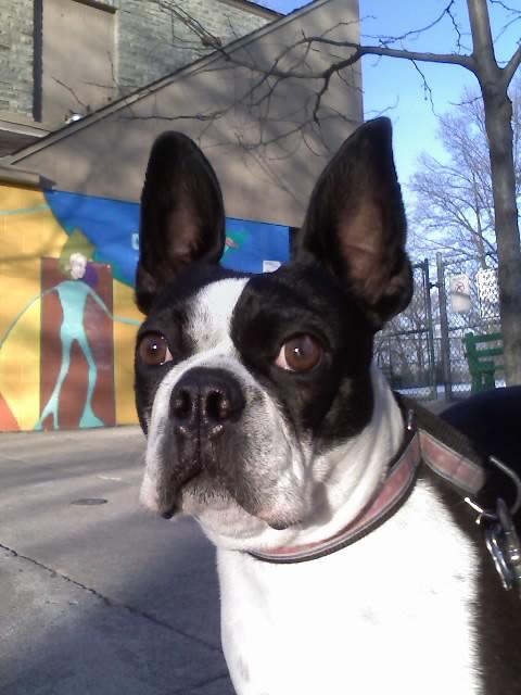Image For Boston Terrier Stud