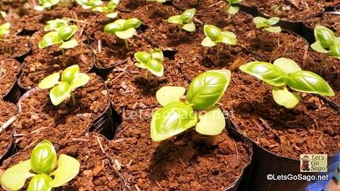Sugarbeets Seedlings!