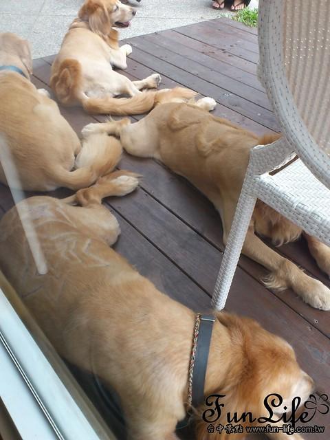 台中咖啡館>台中寵物咖啡館-Sunshine Cafe 店代表-四黃金獵犬