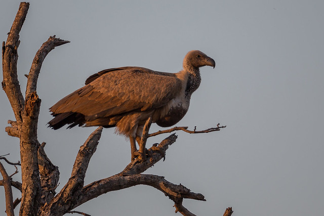 White backed vulture (Cropped)