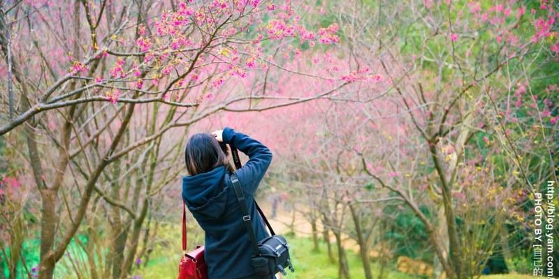 【台北】。櫻花秘境小旅行|土城太極嶺櫻花步道
