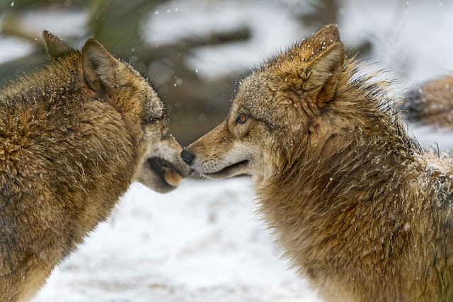 Cute Adorable Wallpapers 25 Amazing Wolf Pictures Unique Viral