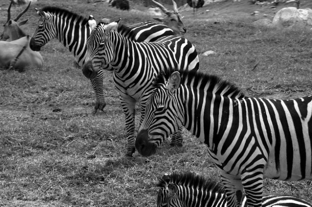 Black and white zebras