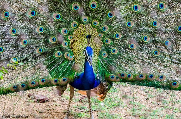 A male Peacock Dancing with feathers open Hyderabad Zoo