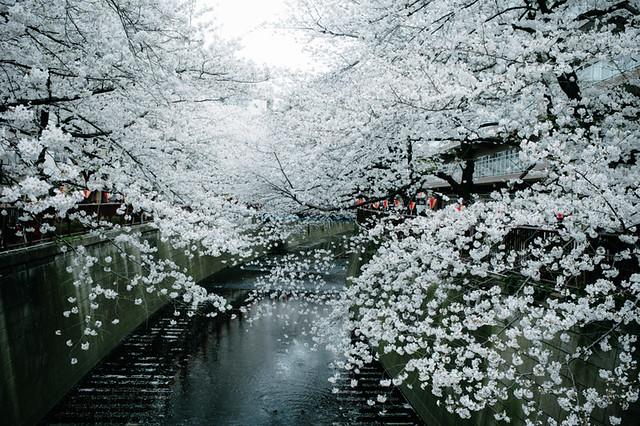 A sakura filled spring in Tokyo 2013