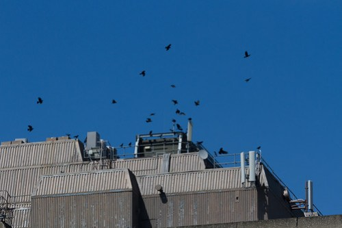 A 'murder' of crows, Wapping, E1