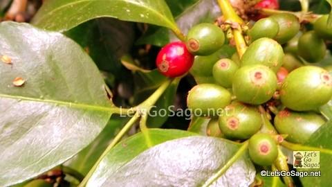 Sagada Organic Coffee Farm