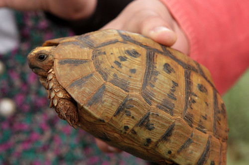 turtle wandering n za'atar field
