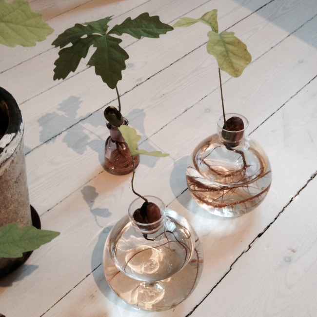 odla ekplantor inomhus