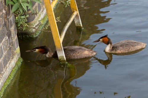 Great crested grebes, Wapping, E1