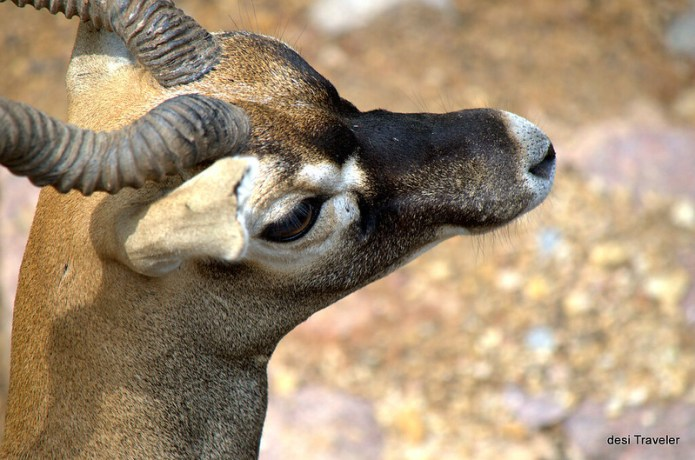 Close up of Indian Black Buck