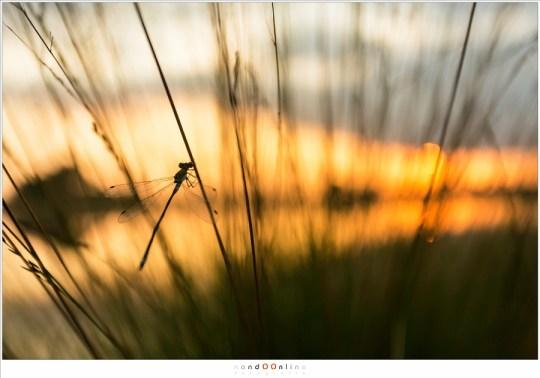 Een waterjuffer tegen de zonsondergang