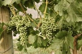ET2Media Photo of grapes in Orofino Vineyard