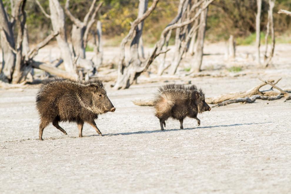 El Taguá (Catagonus wagneri) también conocido como pecarí quimilero, pecarí del Chaco, jabalí, solitario, u orejudo es una especie de mamífero artiodáctilo de la familia Tayassuidae, la de mayores dimensiones dentro de la familia. Los Catagonus wagneri tienen el apelativo de chanchos del infierno verde debido a su hábitat salvaje e impenetrable, confinado a áreas secas y calientes.(Oscar Bordón)