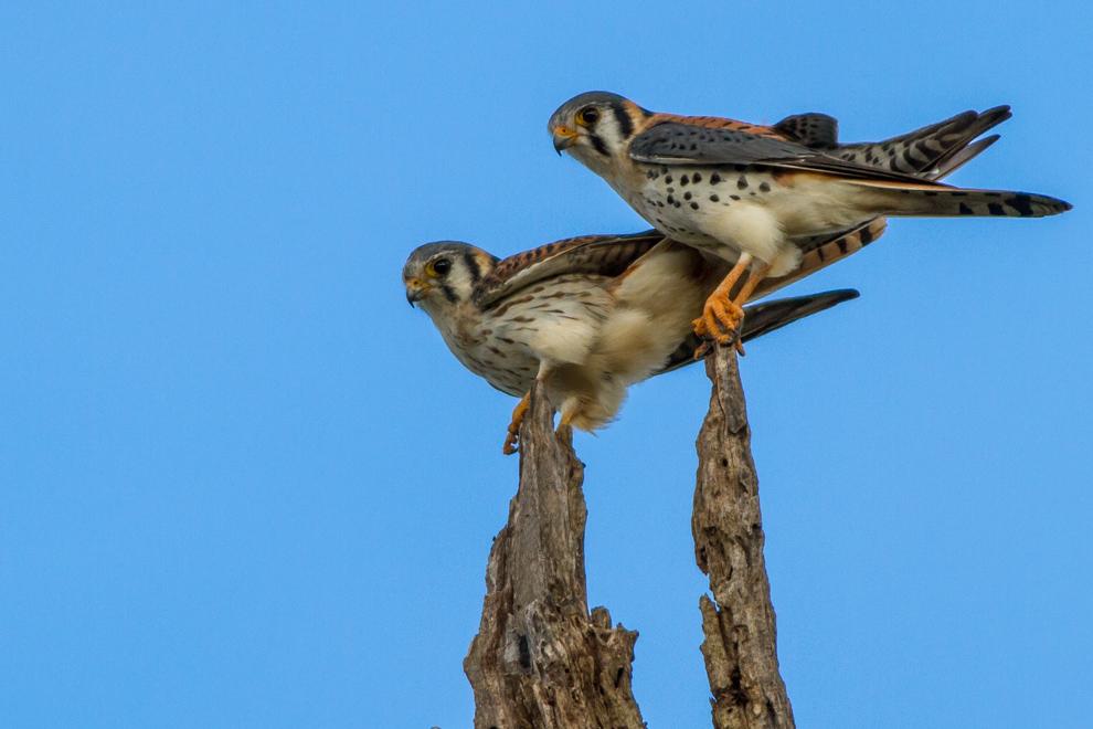 Una pareja de halconcitos colorados (Falco sparverius), se alimentan preferentemente de roedores, aves pequeñas, insectos, anfibios y reptiles pequeños. (Oscar Bordón)