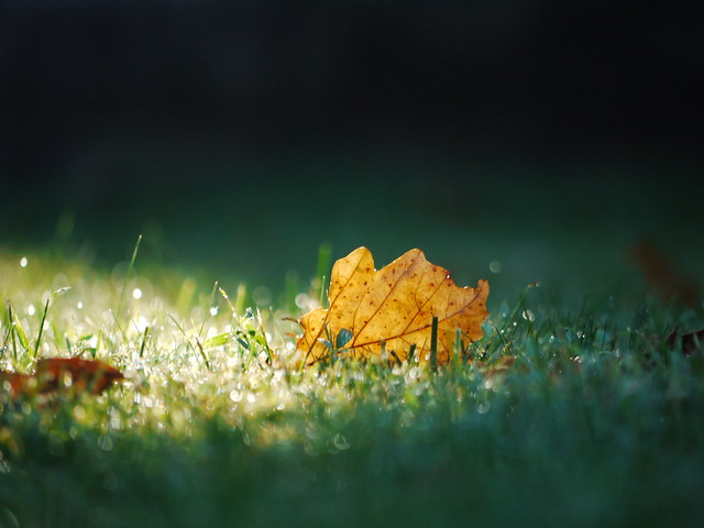 leaf & morning dew on the lawn in september