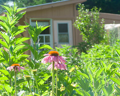 Coneflowers and Chicken Coop/Greenhouse