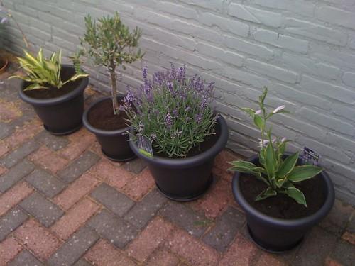 Plantjes die ik voor mijn #verjaardag heb gekregen staan ook in de pot. Olijfboompje, Hosta's en lavendel...