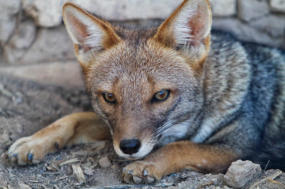 Un zorro descansa, en una estancia junto con muchos otros animales, en Paso los Pioneros. (Tetsu Espósito - Paso Los Pioneros, Chaco, Paraguay)