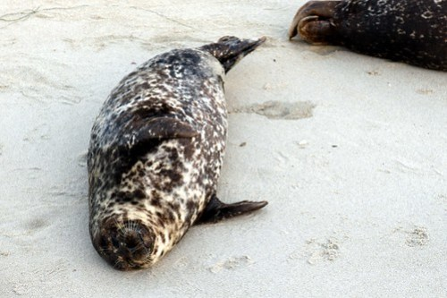 seals of la jolla