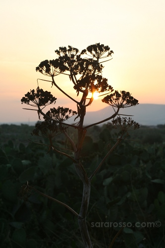 Sunset over the cactus in Puglia