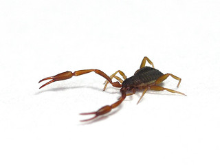 Bug that looks like a scorpion without tail