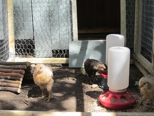 New chicken coop and pen
