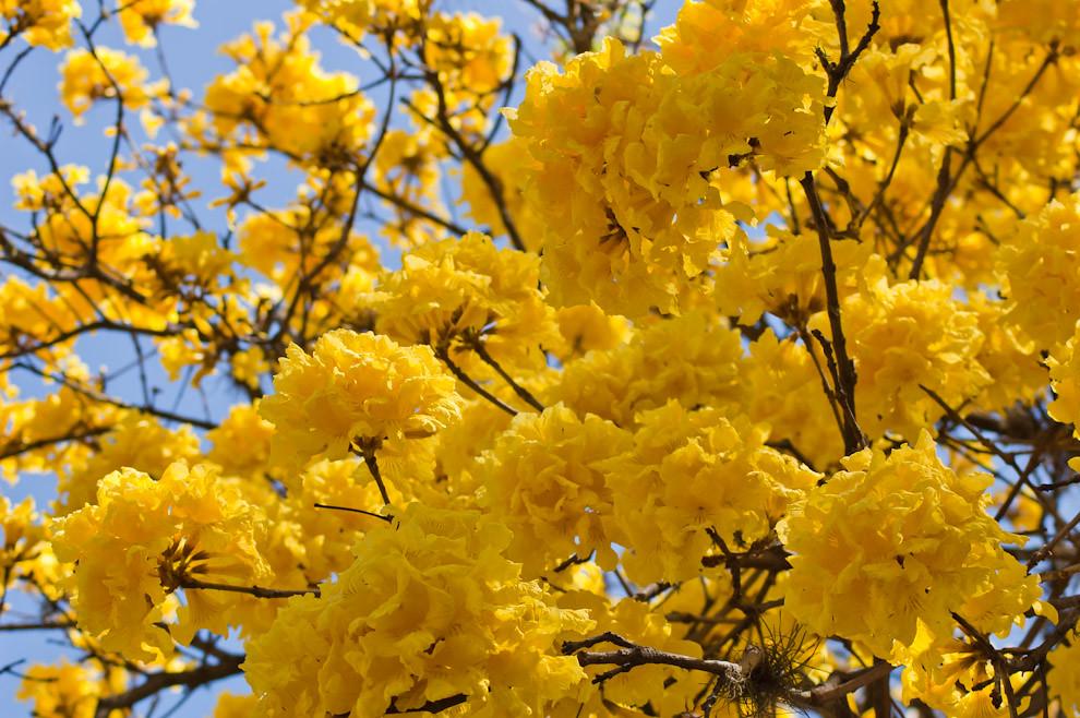 Flores de Lapacho Amarillo (Tabebuia chrysotricha) son vistas en un árbol frente a la avenida San Isidro del Barrio Villa Policial de Lambaré el sabado 4 de Setiembre. (Elton Núñez - Lambaré, Paraguay)