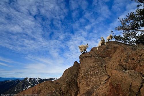 Ingalls Peak - Goats!